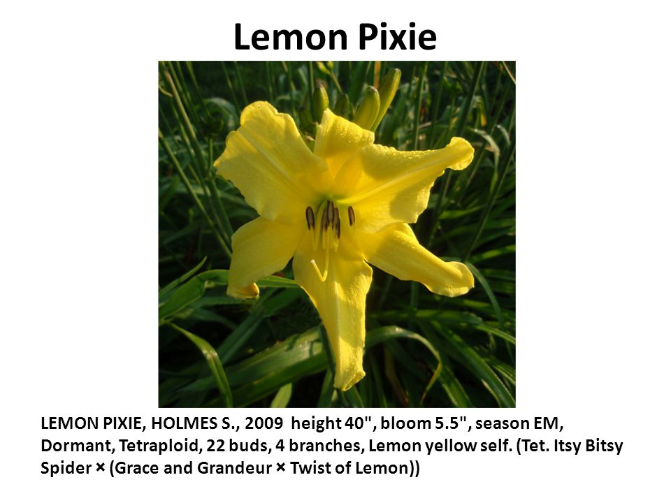 Lemon Pixie LEMON PIXIE, HOLMES S., 2009 height 40 , bloom 5.5 , season EM, Dormant, Tetraploid, 22 buds, 4 branches, Lemon yellow self.