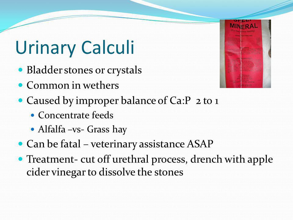 Urinary Calculi Bladder stones or crystals Common in wethers Caused by improper balance of Ca:P 2 to 1 Concentrate feeds Alfalfa –vs- Grass hay Can be