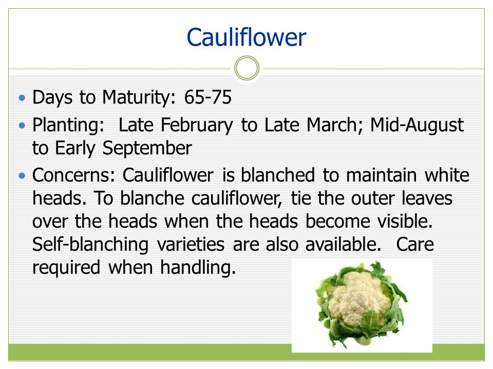 Cauliflower Days to Maturity: 65-75 Planting: Late February to Late March; Mid-August to Early September Concerns: Cauliflower is blanched to maintain white heads.
