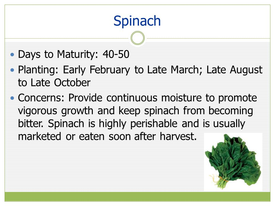 Spinach Days to Maturity: 40-50 Planting: Early February to Late March; Late August to Late October Concerns: Provide continuous moisture to promote vigorous growth and keep spinach from becoming bitter.