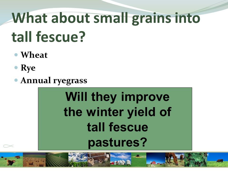 What about small grains into tall fescue? Wheat Rye Annual ryegrass Will they improve the winter yield of tall fescue pastures?