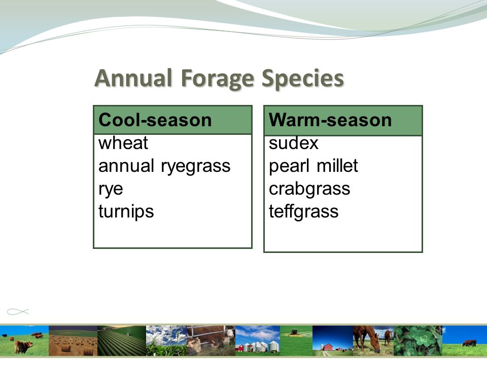 Cool-season wheat annual ryegrass rye turnips Annual Forage Species Warm-season sudex pearl millet crabgrass teffgrass