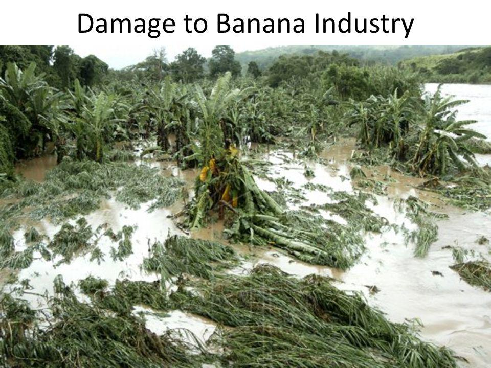 Damage to Banana Industry