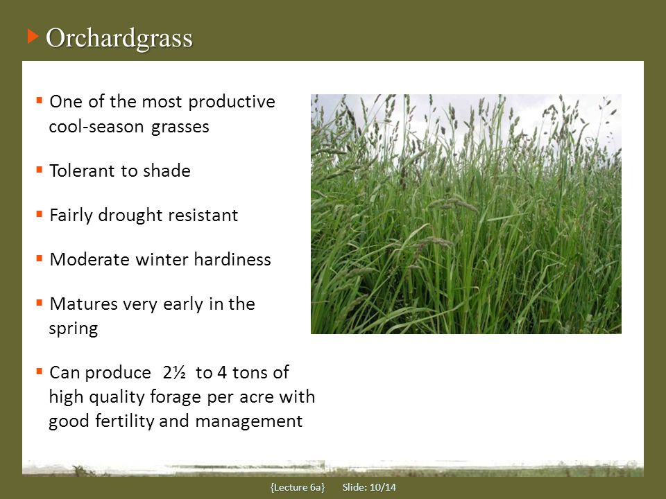 Orchardgrass One of the most productive cool-season grasses Tolerant to shade Fairly drought resistant Moderate winter hardiness Matures very early in the spring Can produce 2½ to 4 tons of high quality forage per acre with good fertility and management {Lecture 6a} Slide: 10/14