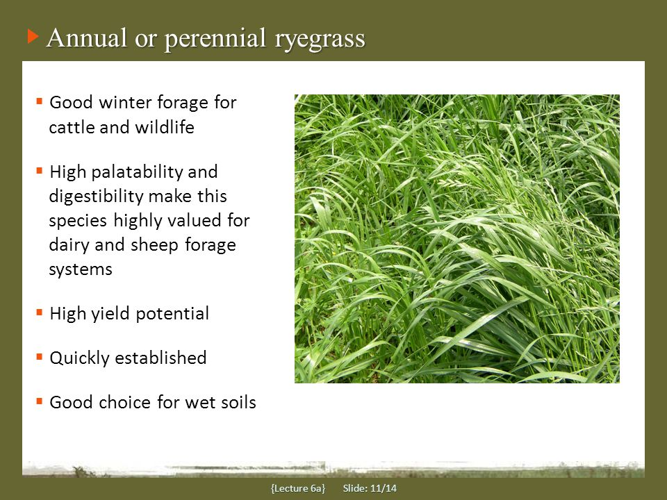 Annual or perennial ryegrass Good winter forage for cattle and wildlife High palatability and digestibility make this species highly valued for dairy and sheep forage systems High yield potential Quickly established Good choice for wet soils {Lecture 6a} Slide: 11/14