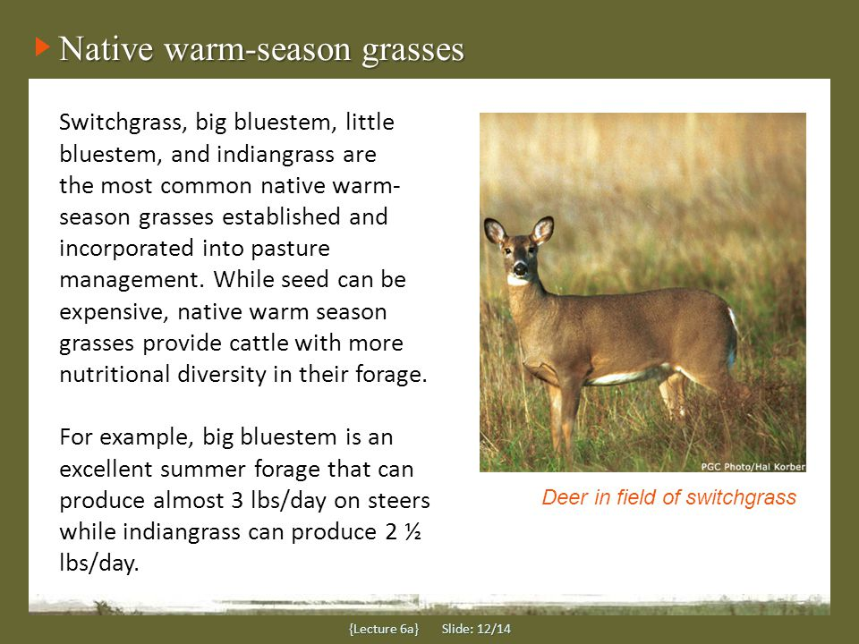Native warm-season grasses {Lecture 6a} Slide: 12/14 Switchgrass, big bluestem, little bluestem, and indiangrass are the most common native warm- season grasses established and incorporated into pasture management.