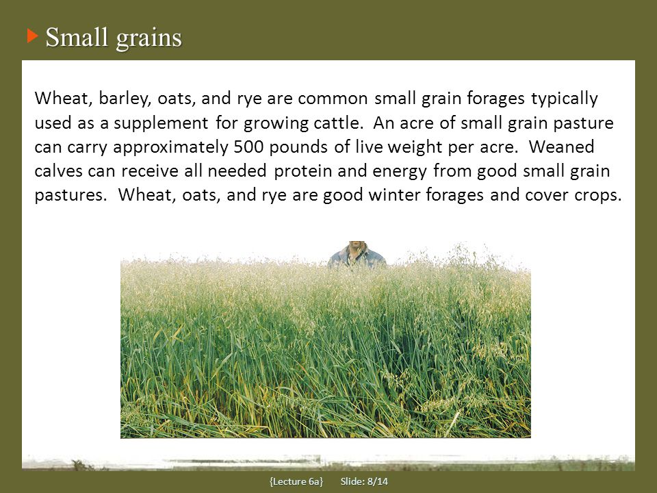 Small grains {Lecture 6a} Slide: 8/14 Wheat, barley, oats, and rye are common small grain forages typically used as a supplement for growing cattle.