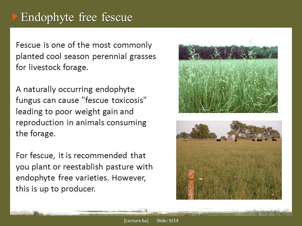 Endophyte free fescue Fescue is one of the most commonly planted cool season perennial grasses for livestock forage.
