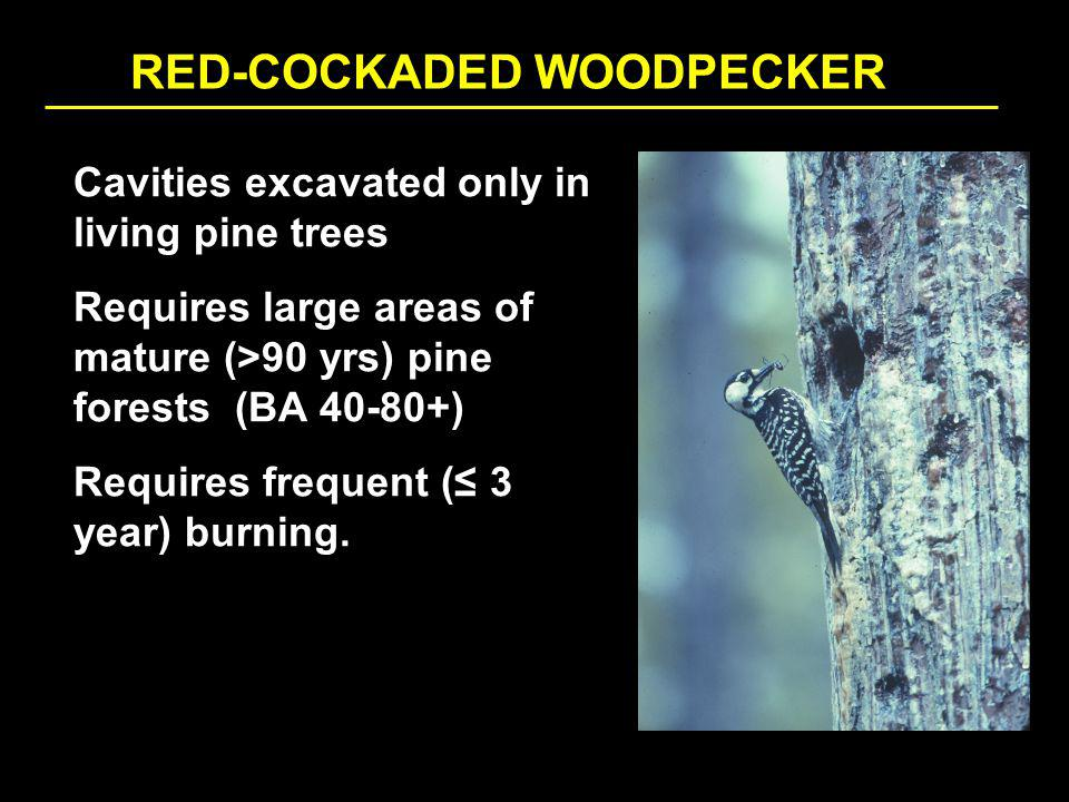 RED-COCKADED WOODPECKER Cavities excavated only in living pine trees Requires large areas of mature (>90 yrs) pine forests (BA 40-80+) Requires frequent ( 3 year) burning.