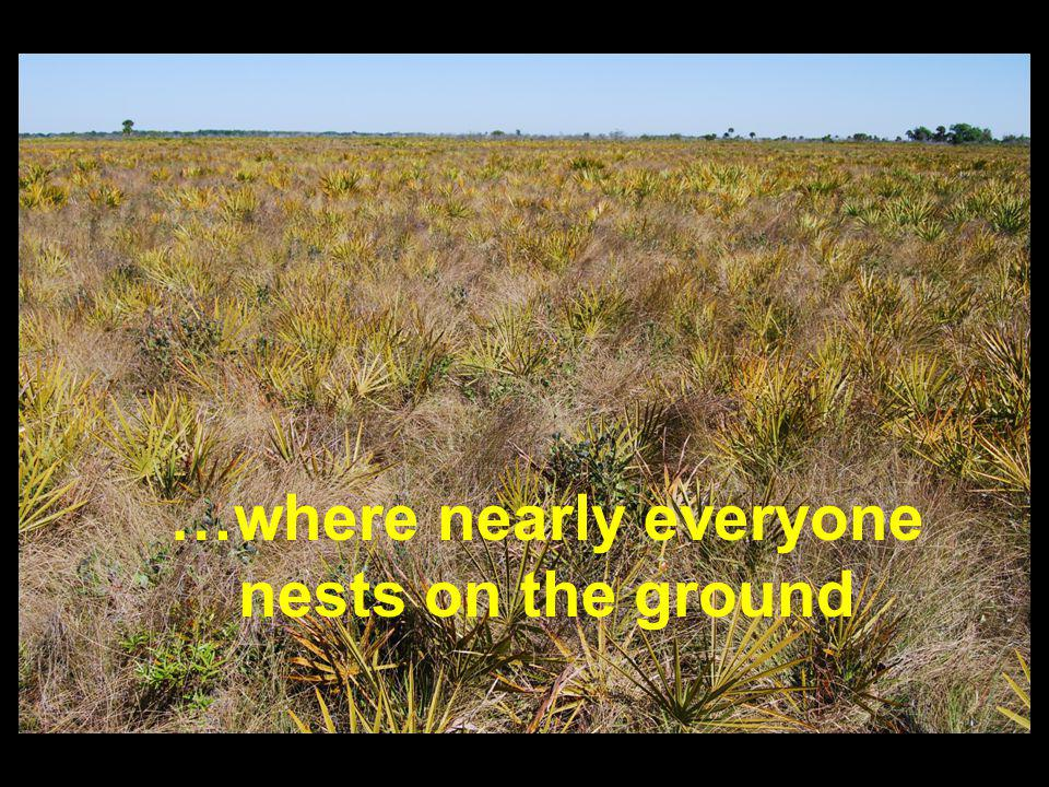 …where nearly everyone nests on the ground