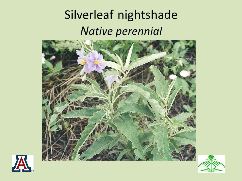Silverleaf nightshade N ative perennial