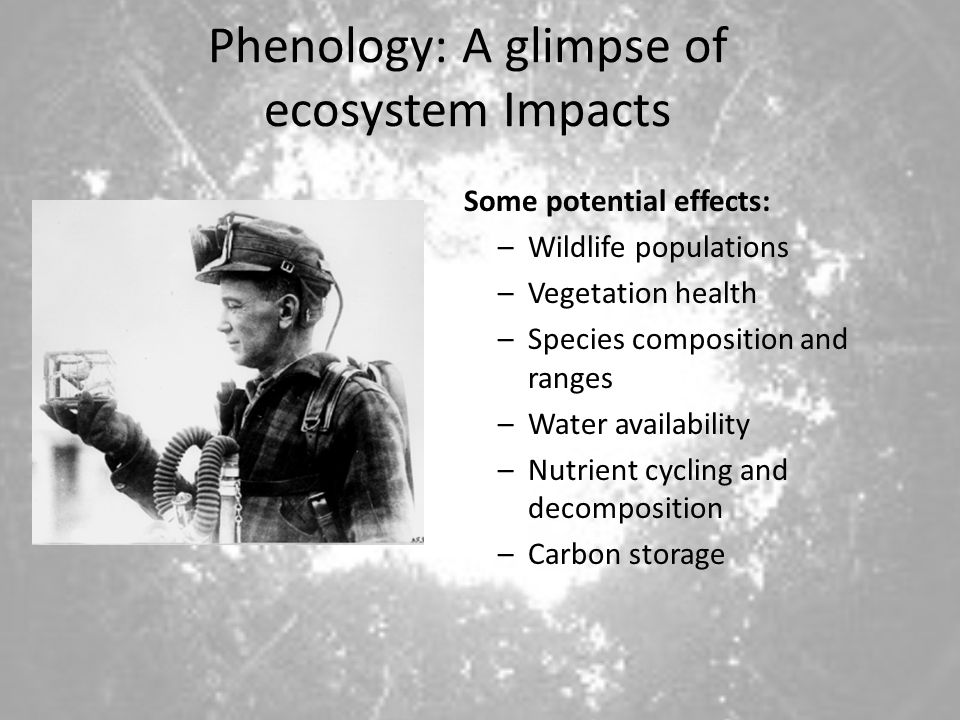 Phenology: A glimpse of ecosystem Impacts Some potential effects: –Wildlife populations –Vegetation health –Species composition and ranges –Water availability –Nutrient cycling and decomposition –Carbon storage