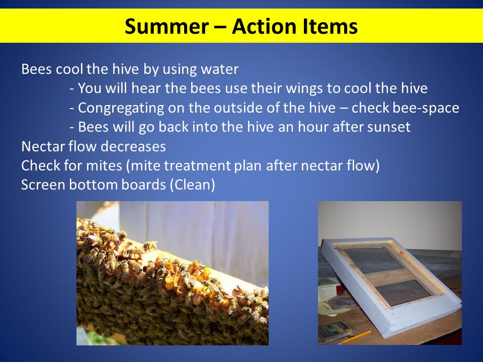 Summer – Action Items Bees cool the hive by using water - You will hear the bees use their wings to cool the hive - Congregating on the outside of the