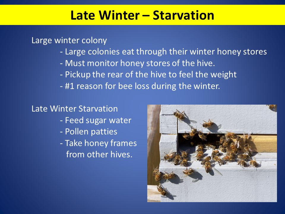 Late Winter – Starvation Large winter colony - Large colonies eat through their winter honey stores - Must monitor honey stores of the hive. - Pickup