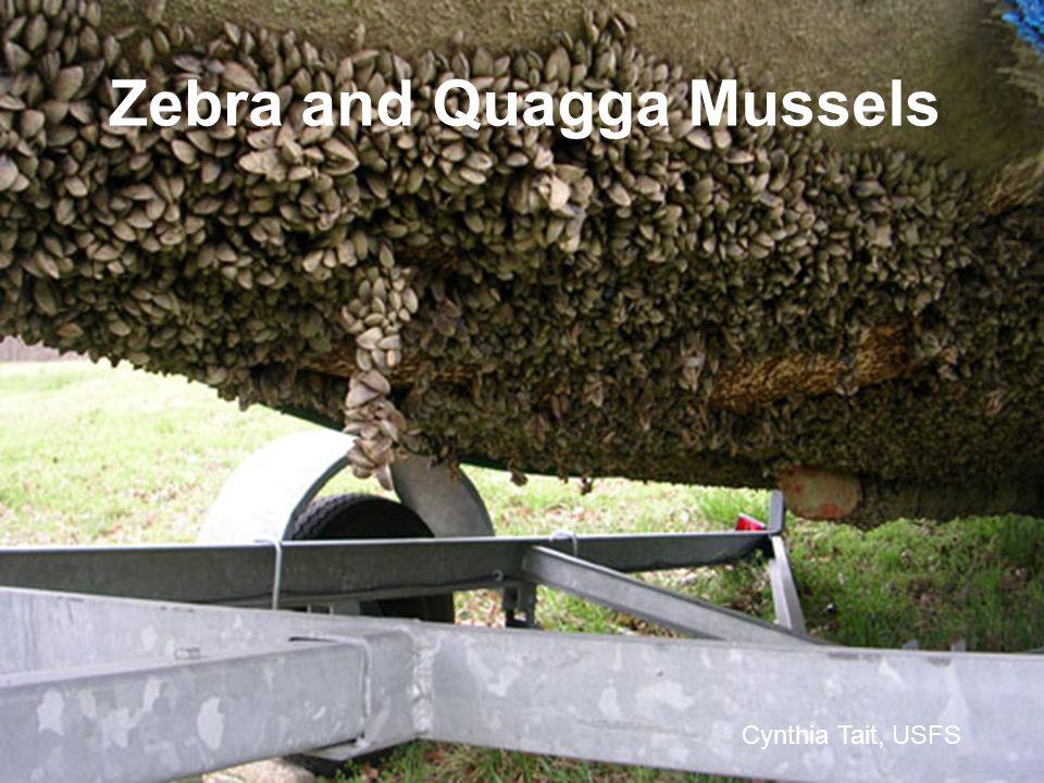 Zebra and Quagga Mussels Cynthia Tait, USFS