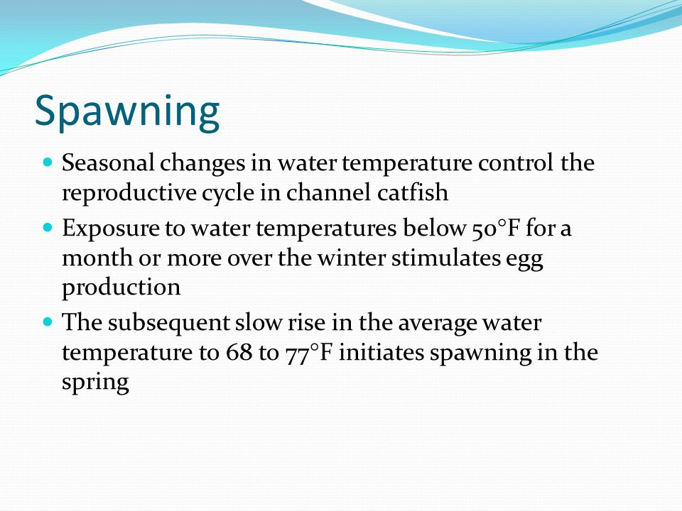 Spawning Seasonal changes in water temperature control the reproductive cycle in channel catfish Exposure to water temperatures below 50 F for a month