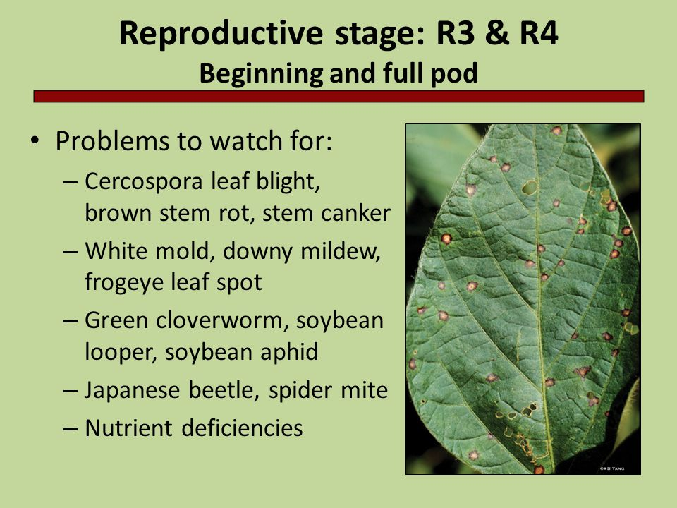 Reproductive stage: R3 & R4 Beginning and full pod Problems to watch for: – Cercospora leaf blight, brown stem rot, stem canker – White mold, downy mi