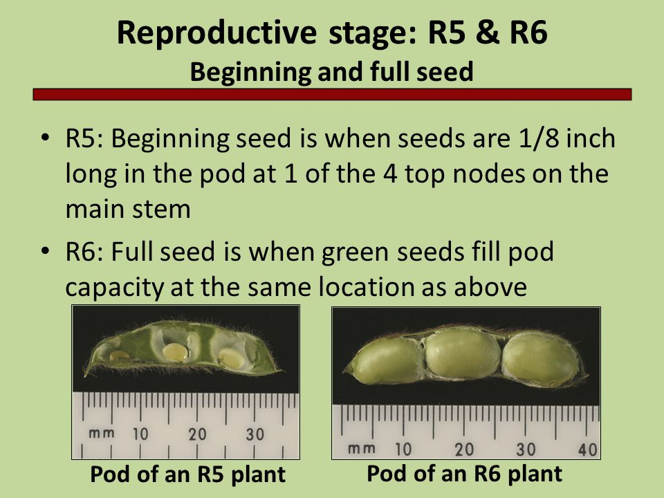 Reproductive stage: R5 & R6 Beginning and full seed R5: Beginning seed is when seeds are 1/8 inch long in the pod at 1 of the 4 top nodes on the main