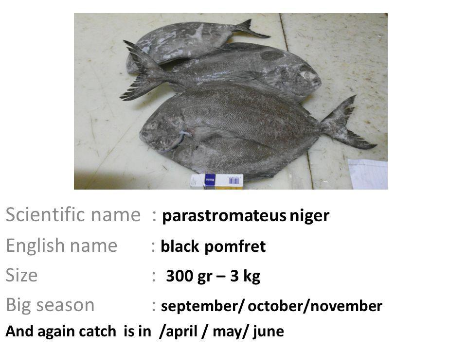 Scientific name : parastromateus niger English name : black pomfret Size : 300 gr – 3 kg Big season : september/ october/november And again catch is in /april / may/ june