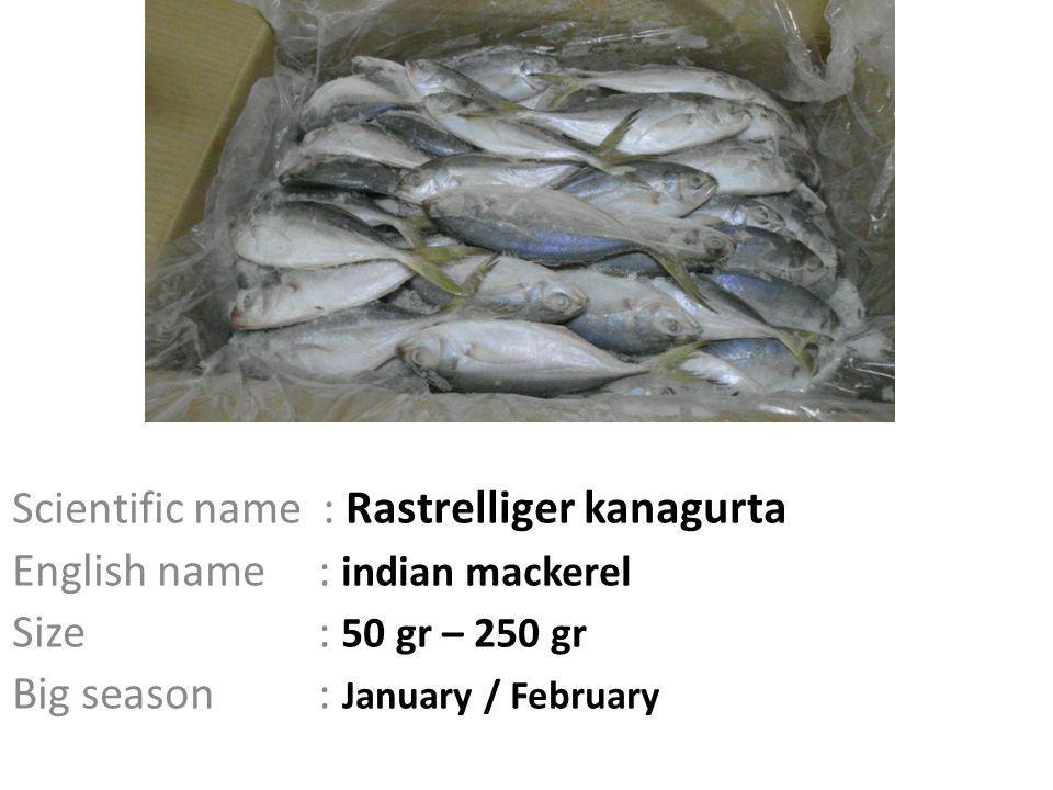 Scientific name : Rastrelliger kanagurta English name : indian mackerel Size : 50 gr – 250 gr Big season : January / February