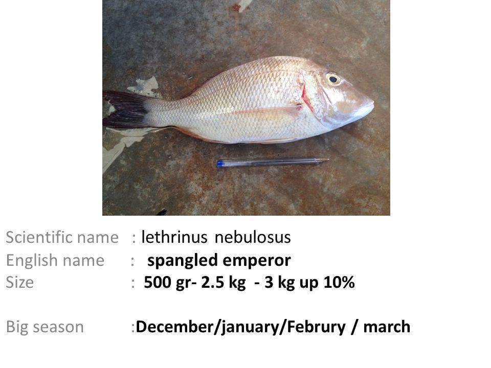 Scientific name : lethrinus nebulosus English name : spangled emperor Size : 500 gr- 2.5 kg - 3 kg up 10% Big season :December/january/Februry / march
