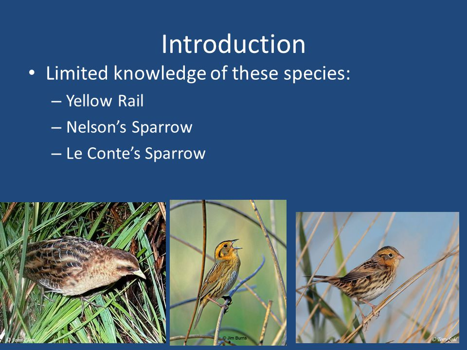 Introduction Limited knowledge of these species: – Yellow Rail – Nelsons Sparrow – Le Contes Sparrow