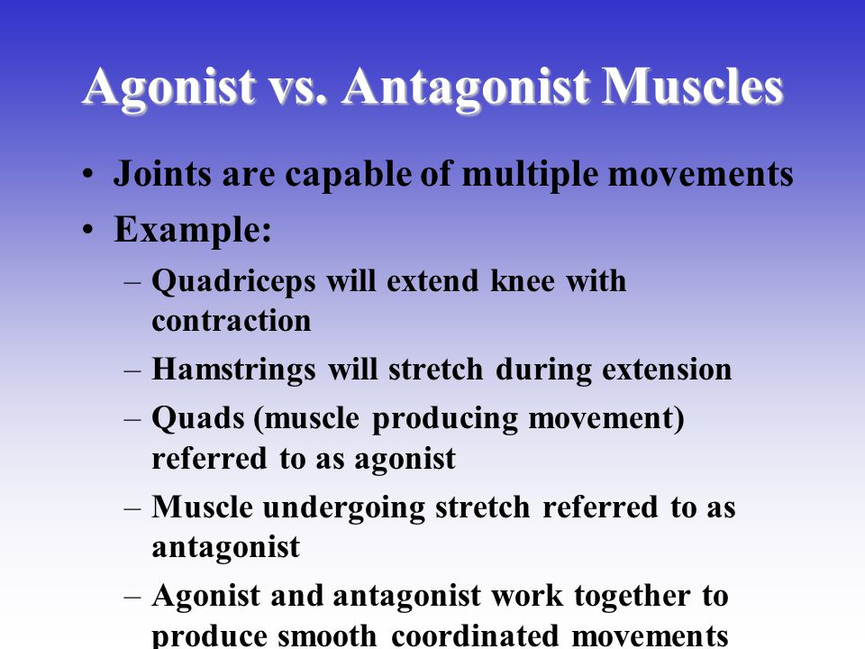 Agonist vs. Antagonist Muscles Joints are capable of multiple movements Example: –Quadriceps will extend knee with contraction –Hamstrings will stretc