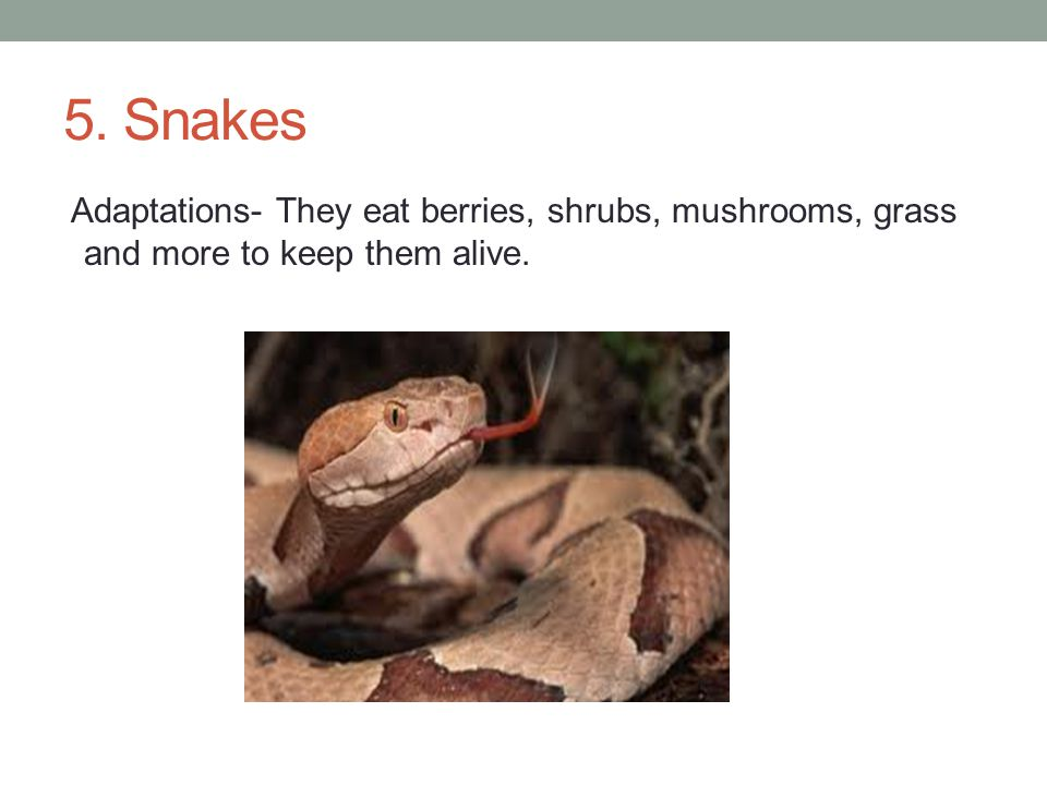 5. Snakes Adaptations- They eat berries, shrubs, mushrooms, grass and more to keep them alive.