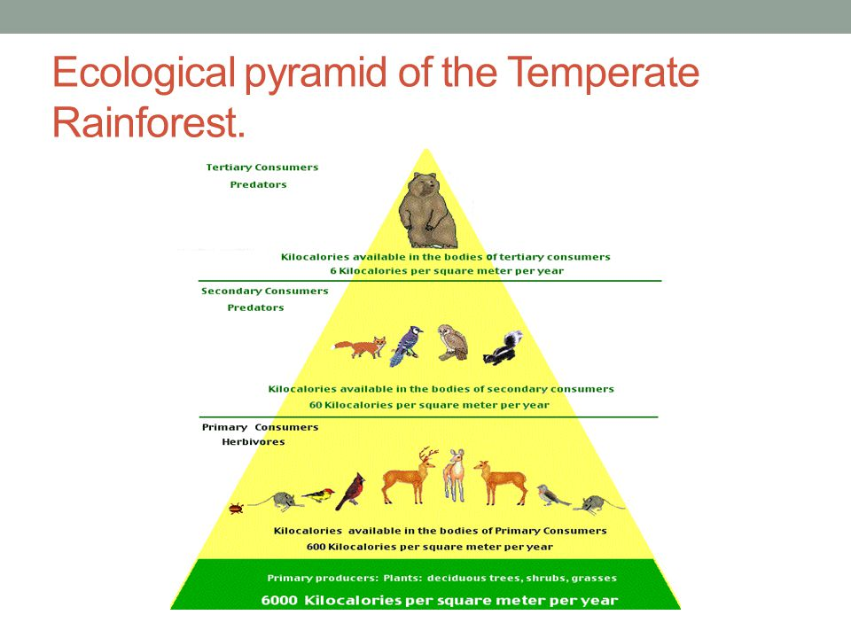 Ecological pyramid of the Temperate Rainforest.