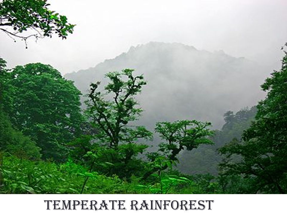 Rain Fall in Temperate Rainforest The temperate Rainforest receives about 60 to 200 inches of rain per year.