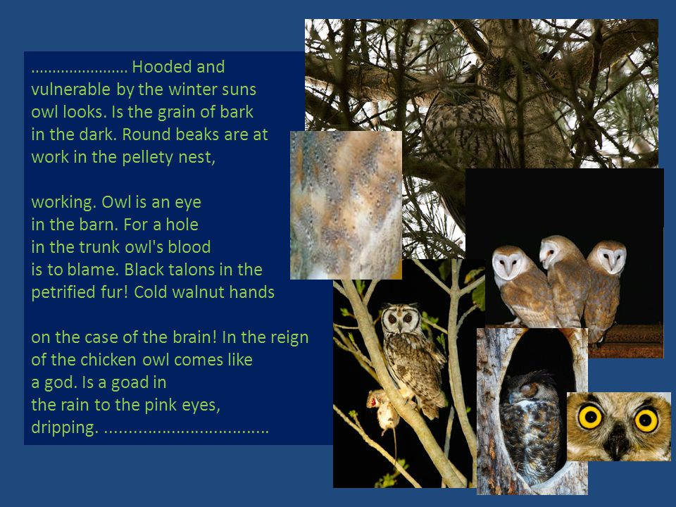 ....................... Hooded and vulnerable by the winter suns owl looks. Is the grain of bark in the dark. Round beaks are at work in the pellety n