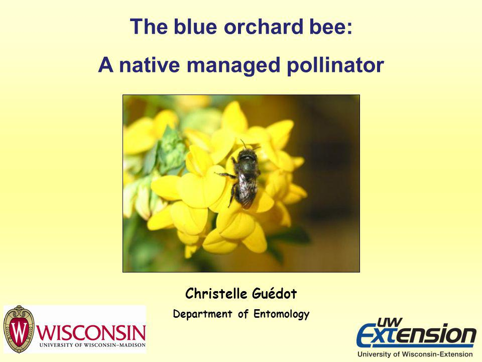 Christelle Guédot Department of Entomology The blue orchard bee: A native managed pollinator
