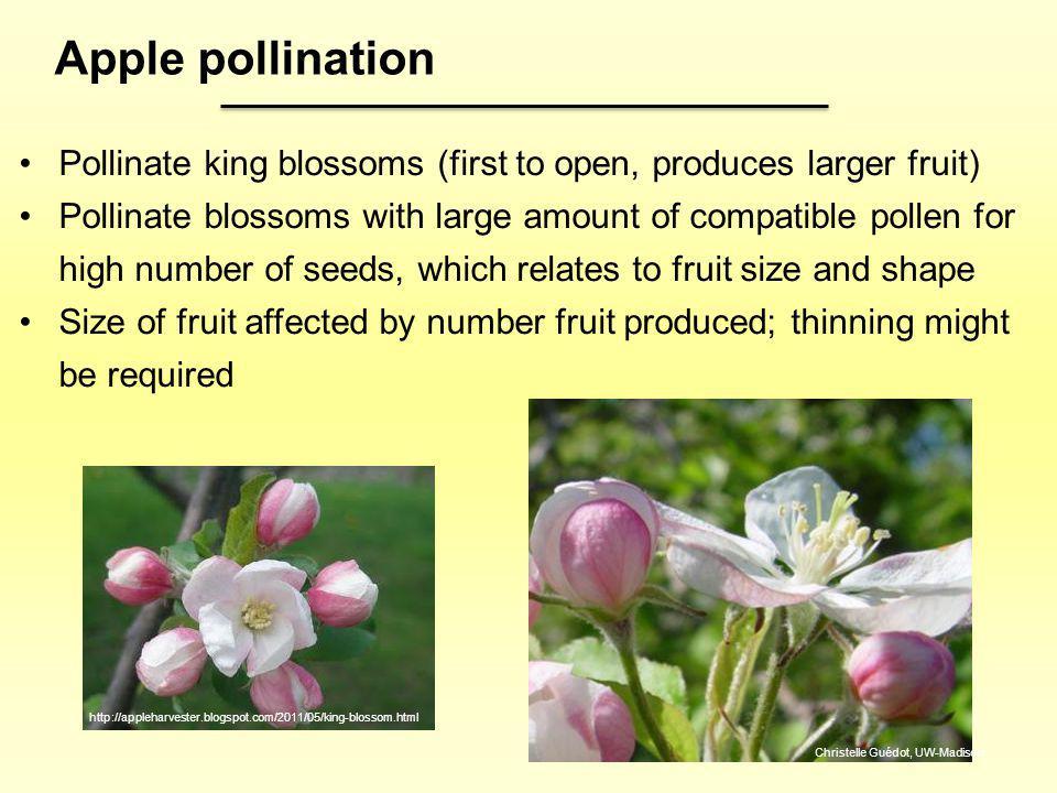 http://appleharvester.blogspot.com/2011/05/king-blossom.html Apple pollination Pollinate king blossoms (first to open, produces larger fruit) Pollinat