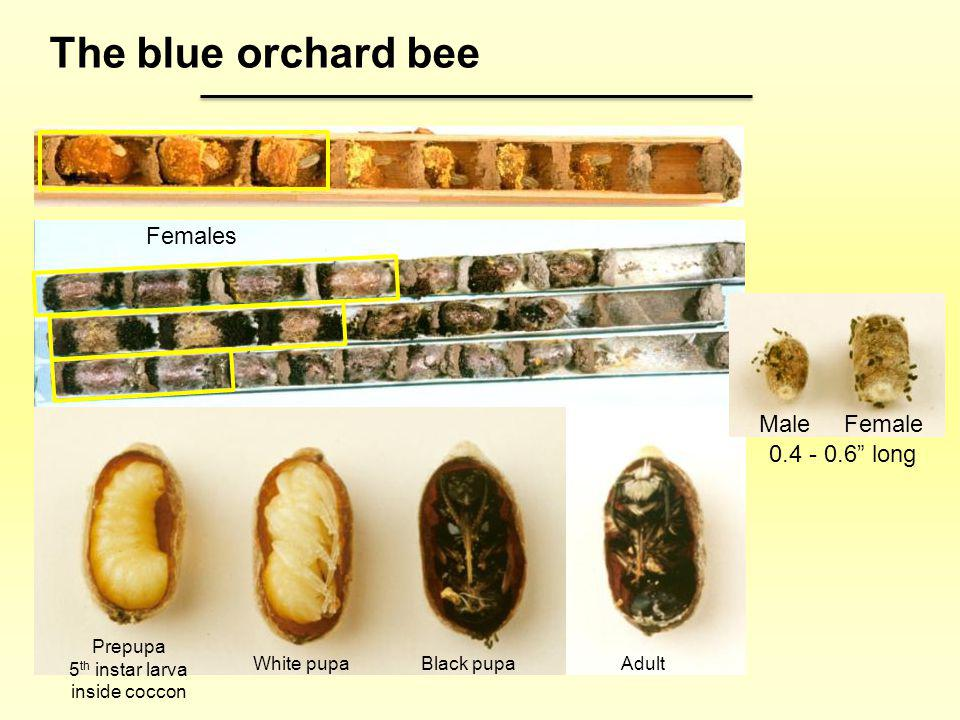 Females Male Female 0.4 - 0.6 long Prepupa 5 th instar larva inside coccon White pupaBlack pupaAdult