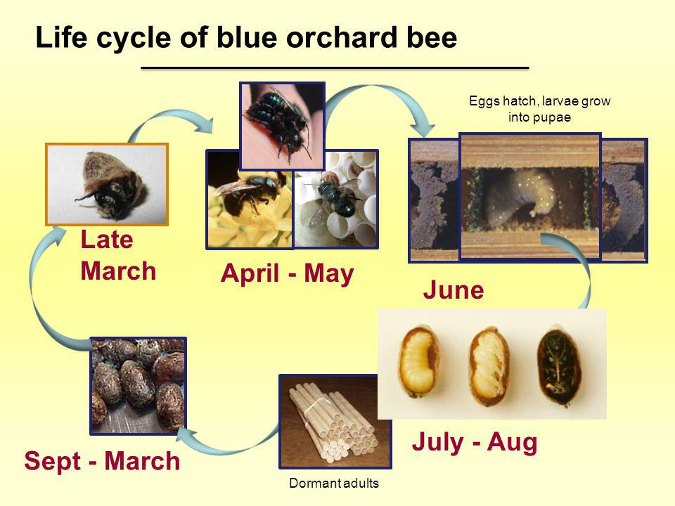 April - May Late March Sept - March July - Aug June Life cycle of blue orchard bee Eggs hatch, larvae grow into pupae Dormant adults