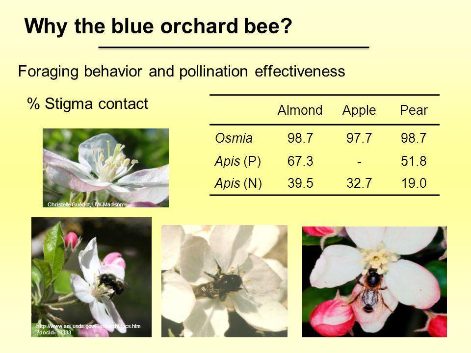 Foraging behavior and pollination effectiveness AlmondApplePear Osmia98.797.798.7 Apis (P)67.3-51.8 Apis (N)39.532.719.0 % Stigma contact Why the blue