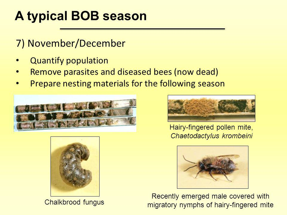 7) November/December Quantify population Remove parasites and diseased bees (now dead) Prepare nesting materials for the following season A typical BO