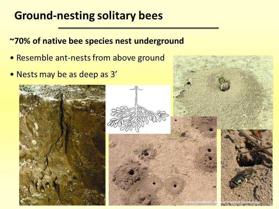 ~70% of native bee species nest underground Resemble ant-nests from above ground Nests may be as deep as 3 Ground-nesting solitary bees Photos: Eric M