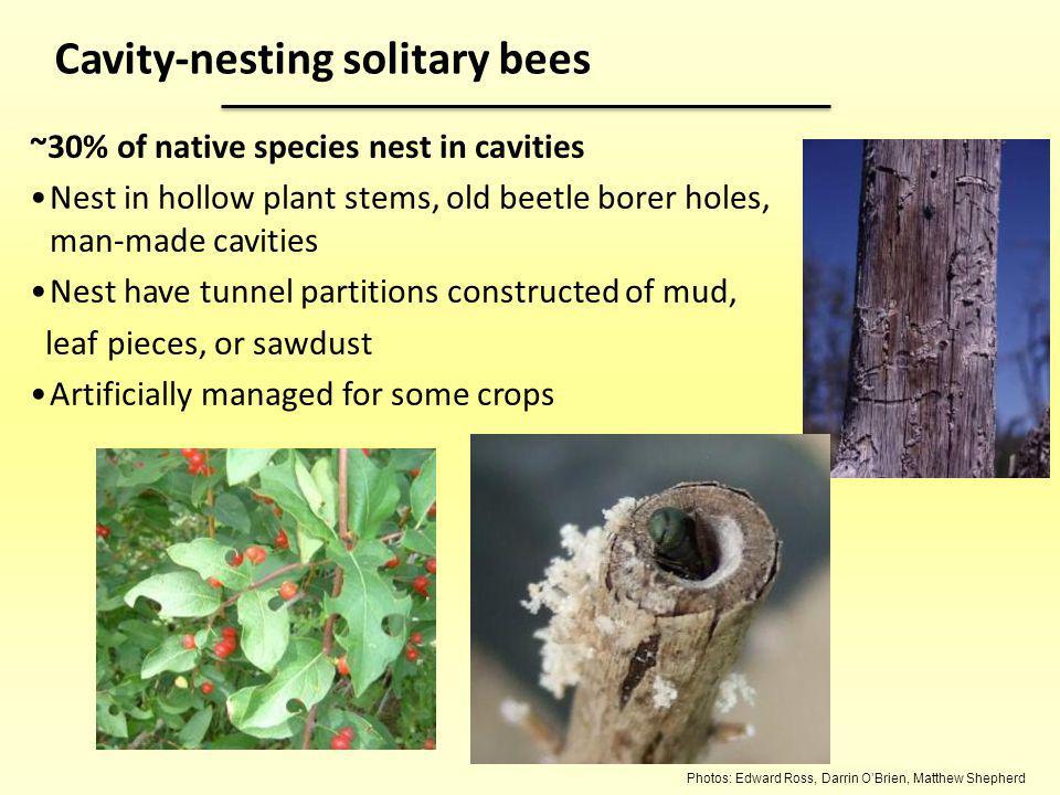 Photos: Edward Ross, Darrin OBrien, Matthew Shepherd ~30% of native species nest in cavities Nest in hollow plant stems, old beetle borer holes, man-m