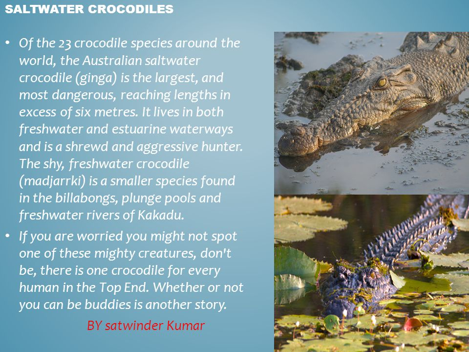 SALTWATER CROCODILES Of the 23 crocodile species around the world, the Australian saltwater crocodile (ginga) is the largest, and most dangerous, reac