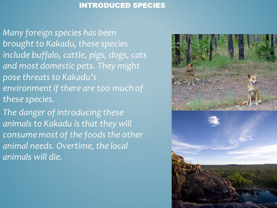 INTRODUCED SPECIES Many foreign species has been brought to Kakadu, these species include buffalo, cattle, pigs, dogs, cats and most domestic pets. Th