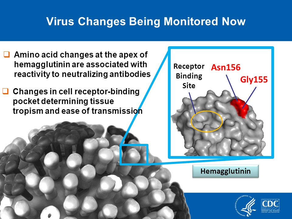 Virus Changes Being Monitored Now 26 Gly155 Asn156 Hemagglutinin Amino acid changes at the apex of hemagglutinin are associated with reactivity to neutralizing antibodies Receptor Binding Site Changes in cell receptor-binding pocket determining tissue tropism and ease of transmission