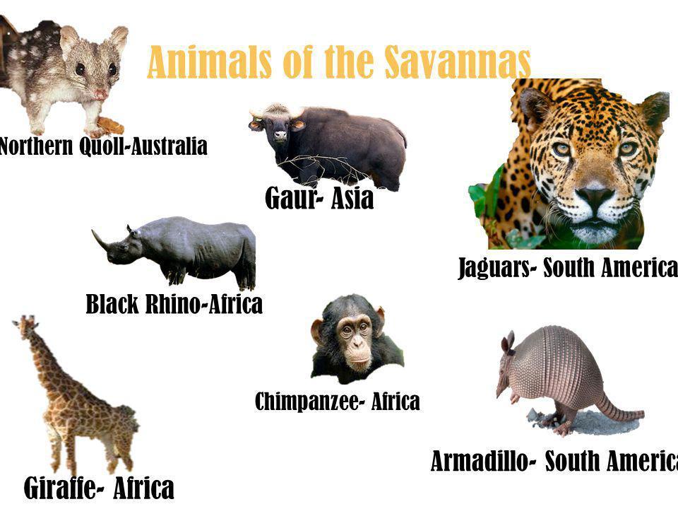 Animals of the Savannas Gaur- Asia Giraffe- Africa Jaguars- South America Northern Quoll-Australia Black Rhino-Africa Chimpanzee- Africa Armadillo- South America