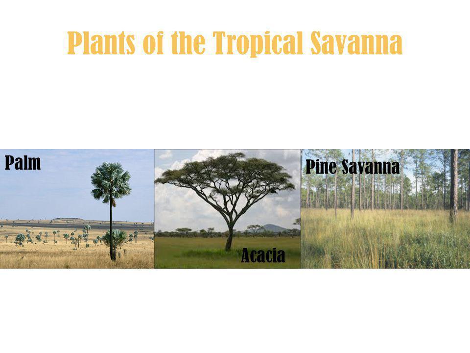 Plants of the Tropical Savanna Palm Acacia Pine Savanna