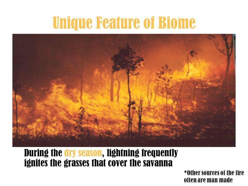 Unique Feature of Biome During the dry season, lightning frequently ignites the grasses that cover the savanna *Other sources of the fire often are man made