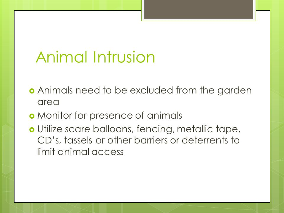 Animal Intrusion Animals need to be excluded from the garden area Monitor for presence of animals Utilize scare balloons, fencing, metallic tape, CDs,