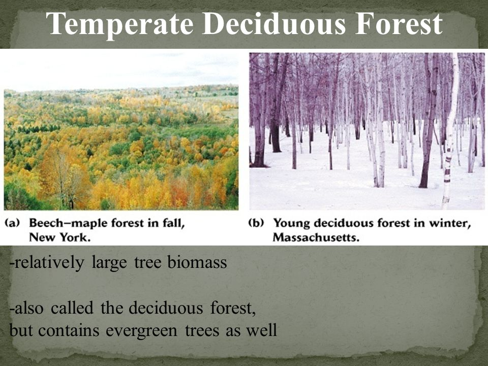 -relatively large tree biomass -also called the deciduous forest, but contains evergreen trees as well