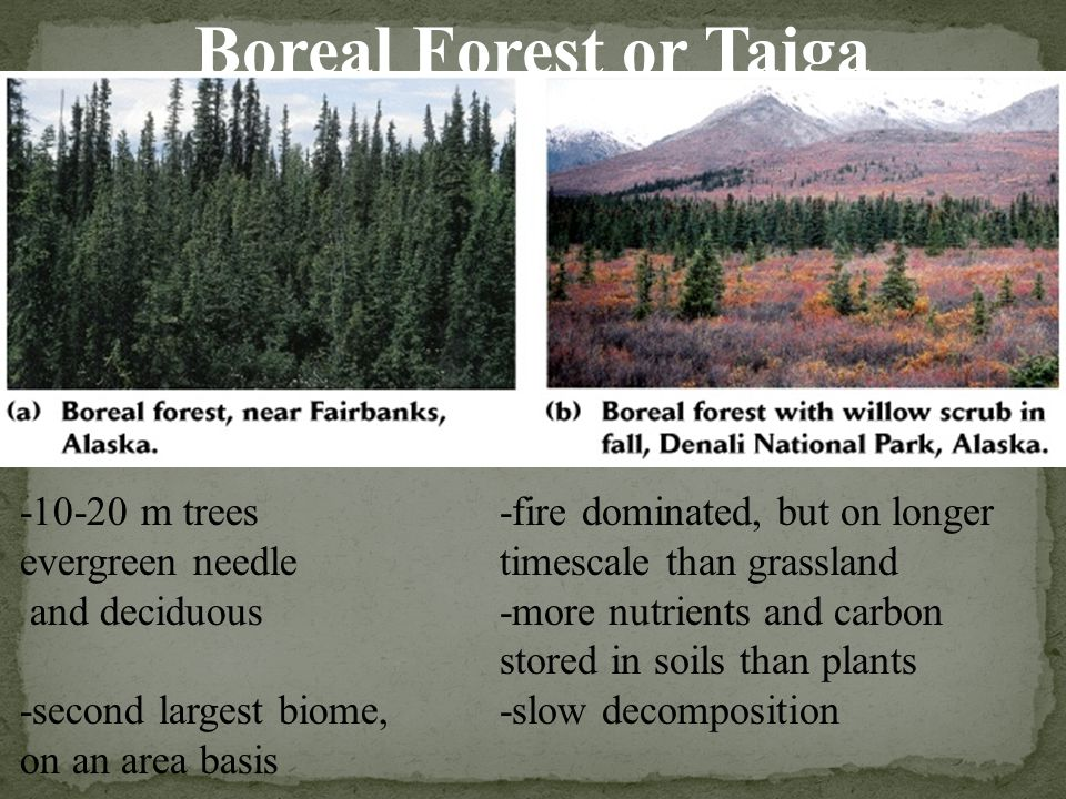 Boreal Forest or Taiga -10-20 m trees evergreen needle and deciduous -second largest biome, on an area basis -fire dominated, but on longer timescale than grassland -more nutrients and carbon stored in soils than plants -slow decomposition