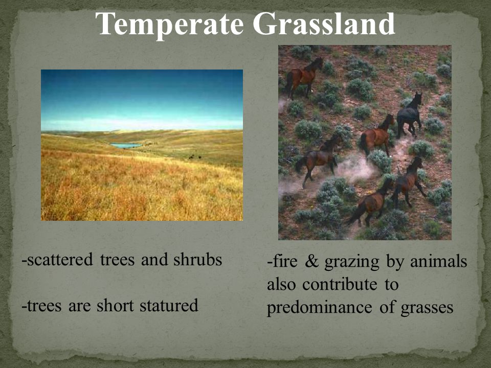 Temperate Grassland -scattered trees and shrubs -trees are short statured -fire & grazing by animals also contribute to predominance of grasses