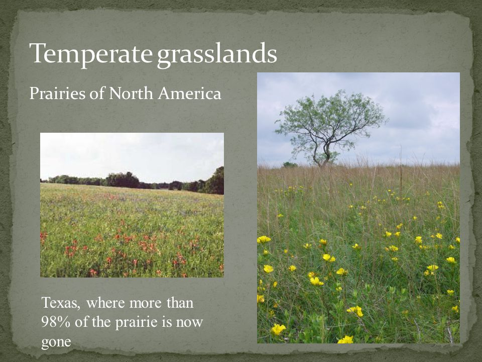 Prairies of North America Texas, where more than 98% of the prairie is now gone